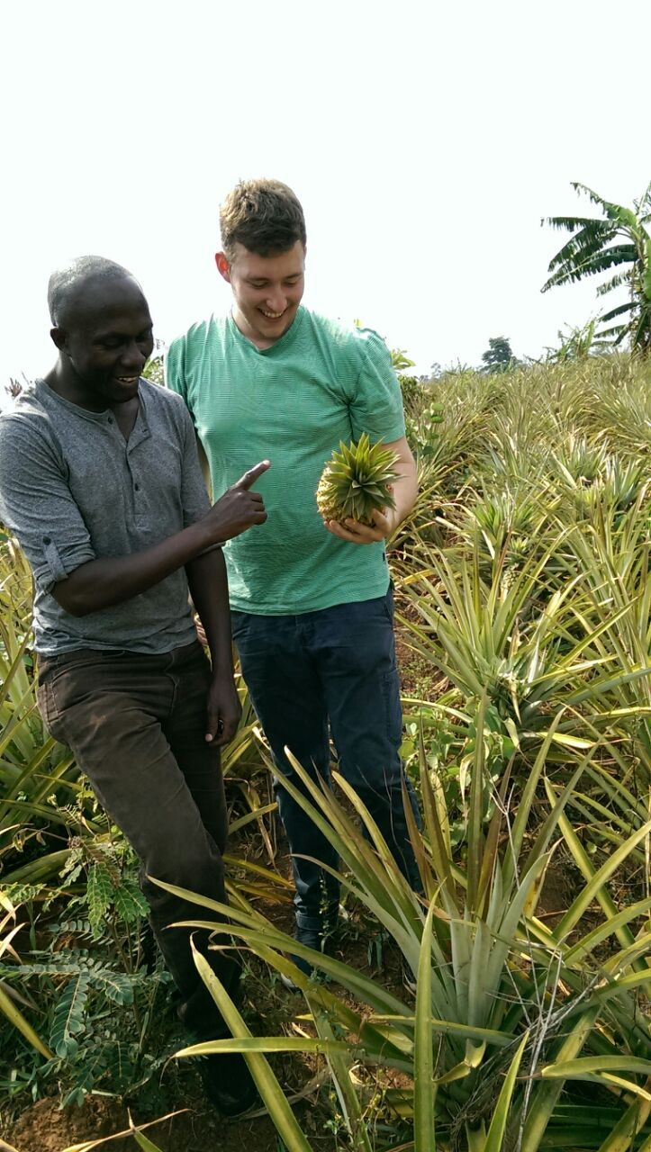 Ananas_Farming