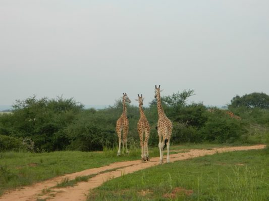 Drei Giraffen im Murchison Falls Nationalpark in Uganda