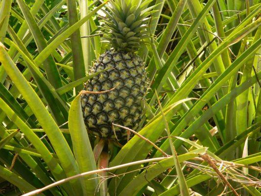 Unreife Ananas auf einer Ananasplantage in Uganda