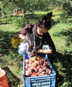 Volontärin bei der Apfelernte im Annapurna-Gebirge