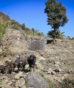 Büffelherde in Swaragau