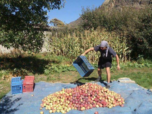 Volontär bei der Apfelernte im Annapurna-Workcamp
