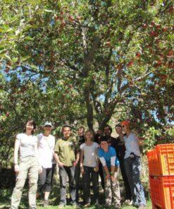 Volontäre bei der Apfelernte im Annapurna-Workcamp