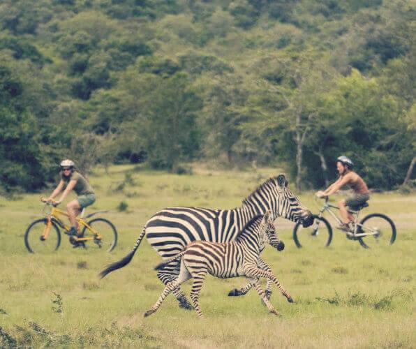 Zebramutter galoppiert mit Fohlen an zwei Radfahrern vorbei