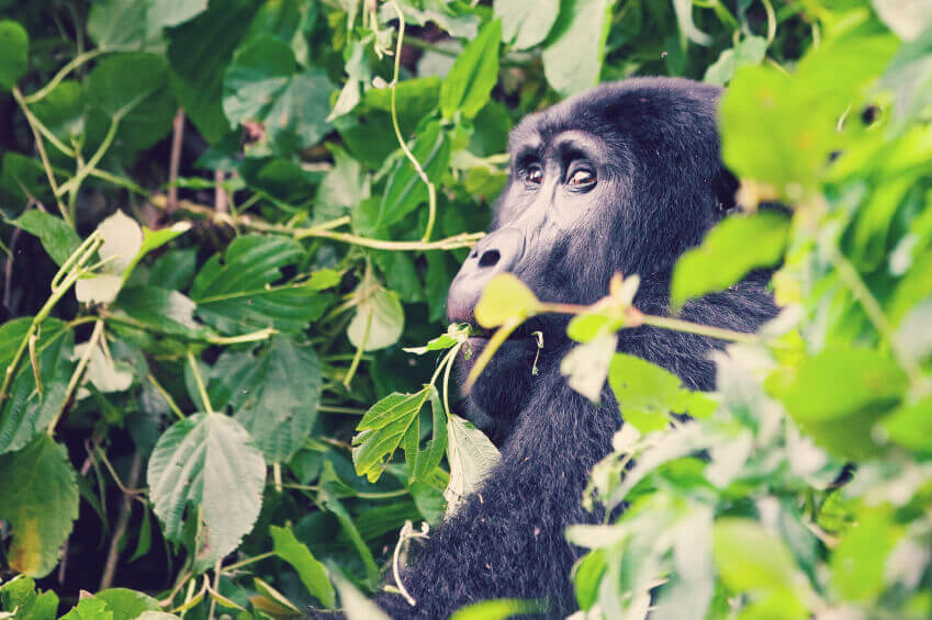 Gorilla_Karmalaya