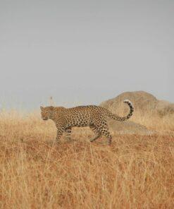 Leopard in der Steppe