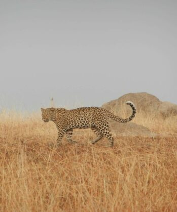 Leopard in der Steppe