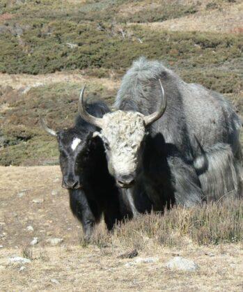 Zwei Yaks