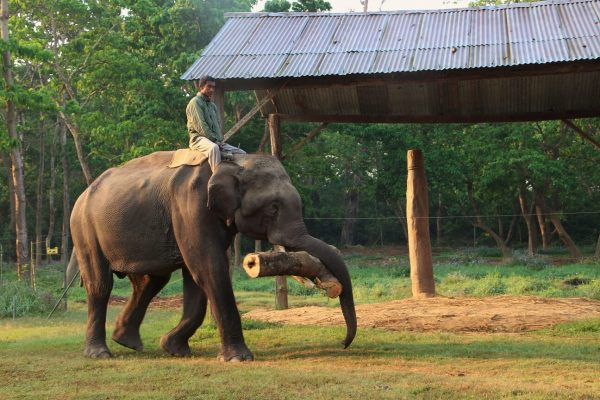 Mahout reitet auf Elefant der einen Baumstamm im Maul hat