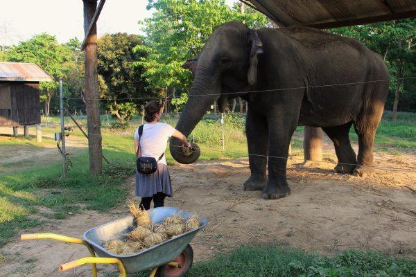 Frau füttert Elefant