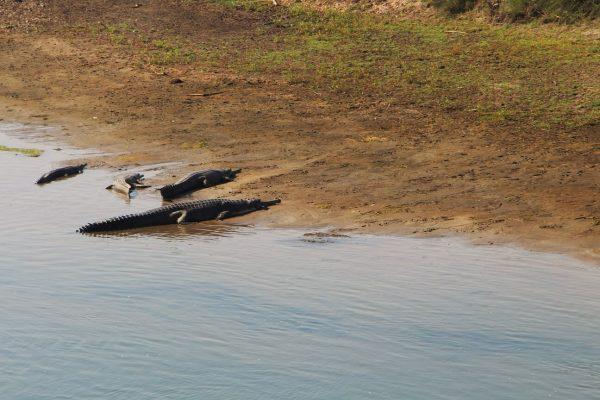 Krokodile im Chitwan Nationalpark