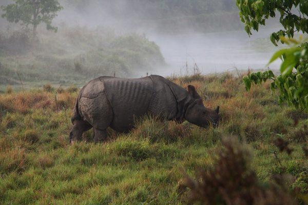 Panzernashorn im Chitwan Nationalpark