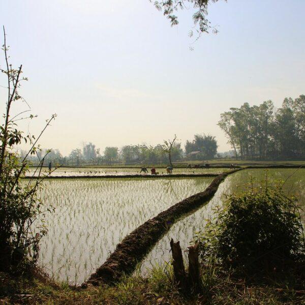 Reisfelder im Nationalpark in Chitwan