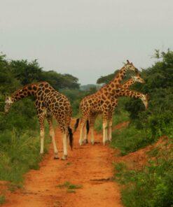 Vier Giraffen in Uganda