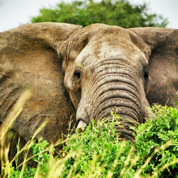 Elefant in Uganda