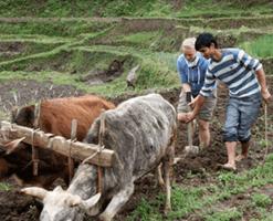 Farming in Gaujini