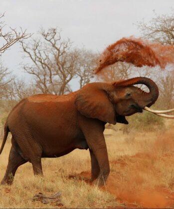 Elefant wirft Erde mit seinem Rüssel