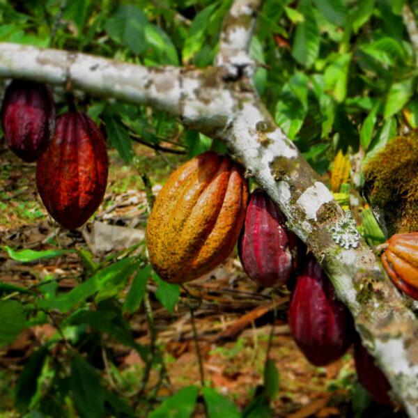 Kakaofrüchte in Uganda
