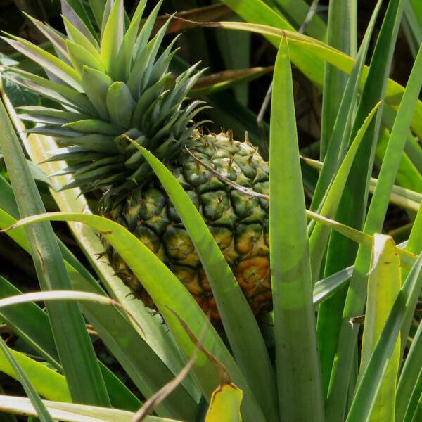 Leckere Ananas aus Uganda