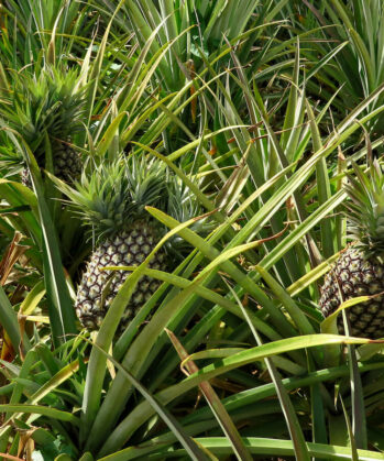 So wachsen Ananas in Uganda
