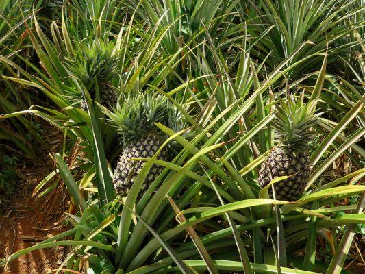 So wachsen Ananas in Uganda