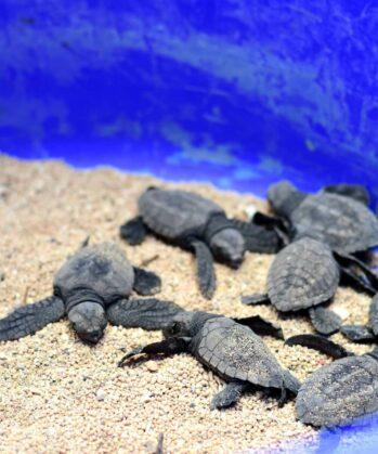 Meeresschildkröten-Aufzuchtstation Bali