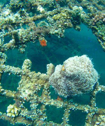 Korallenriff-Wiederherstellung Bali