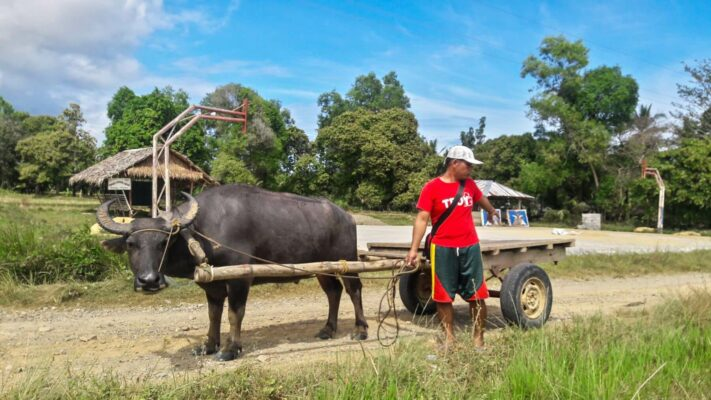 Farmer with a bull on Palawan island