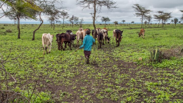 Maasai grazing their cattle