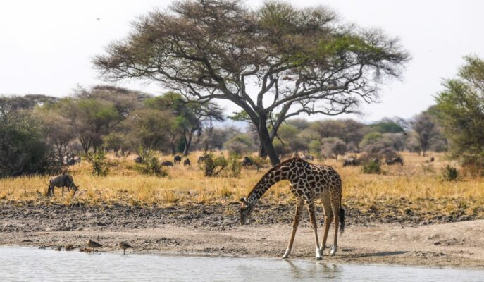 Tarangire National Park - Giraffe drinking water