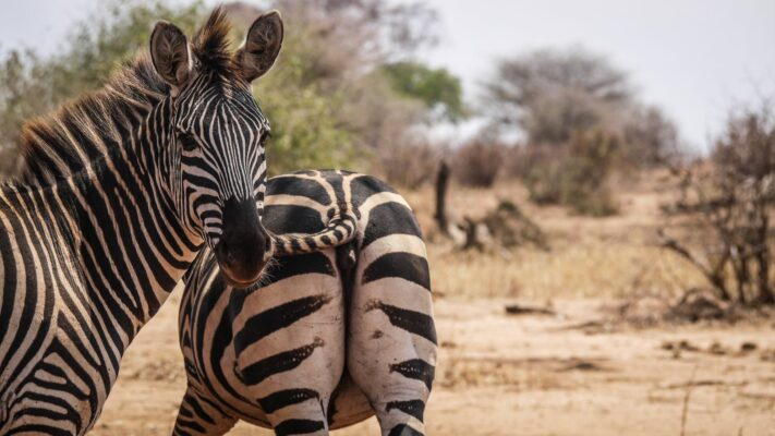 Tarangire National Park - Zebra