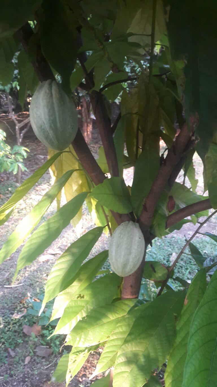 Kakaoplantage Costa Rica