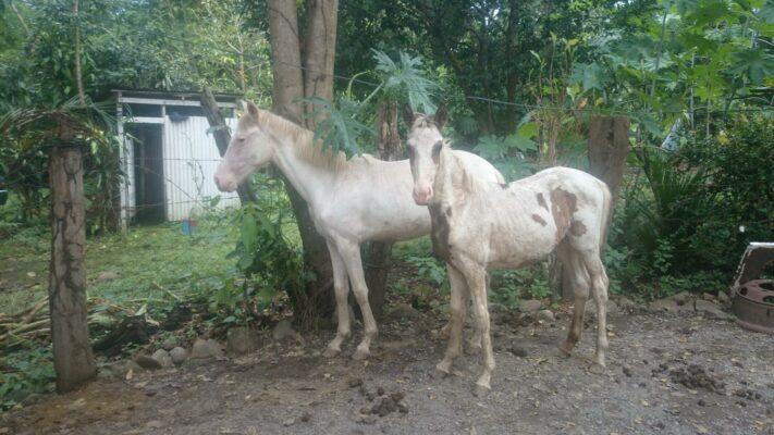 Fohlen Costa Rica