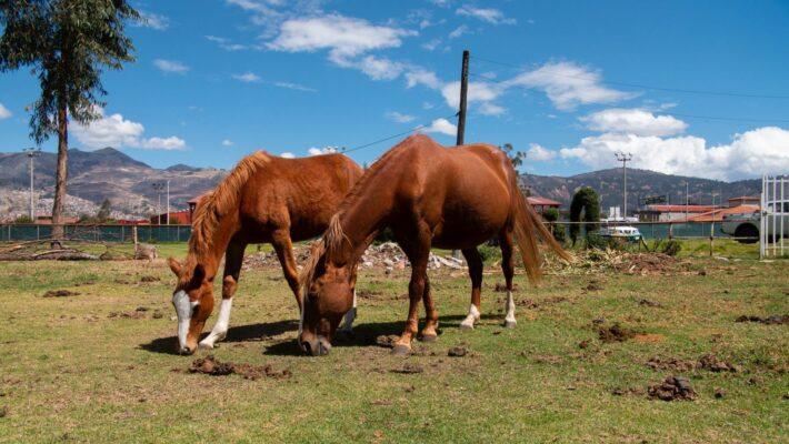 Zwei Pferde grasen auf Wiese